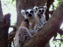 Ring Tailed Lemur with young