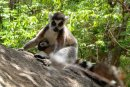Ring Tailed Lemur feeding baby