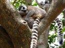 Ring Tailed Lemur - family group