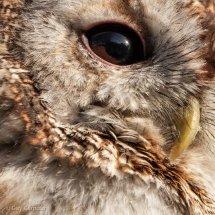 Owl's Eye