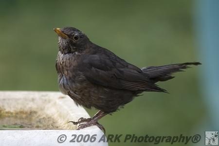 BIRDS (DOMESTIC): www.arkphotography.com/photo_454386.html