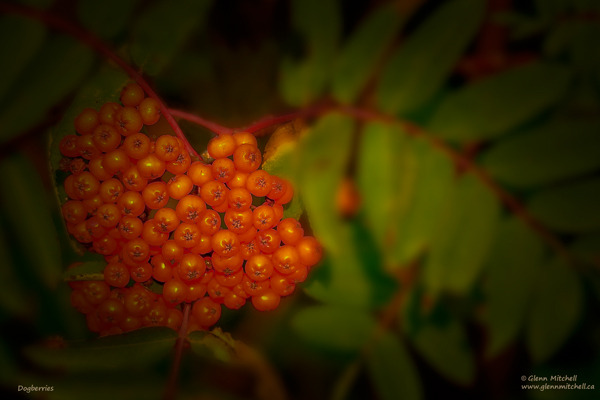 Dogberries