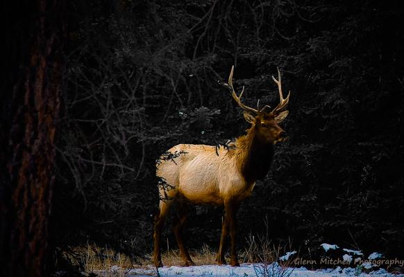 Wapiti or Elk