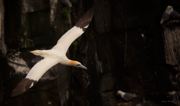 Gannet and Cliffs