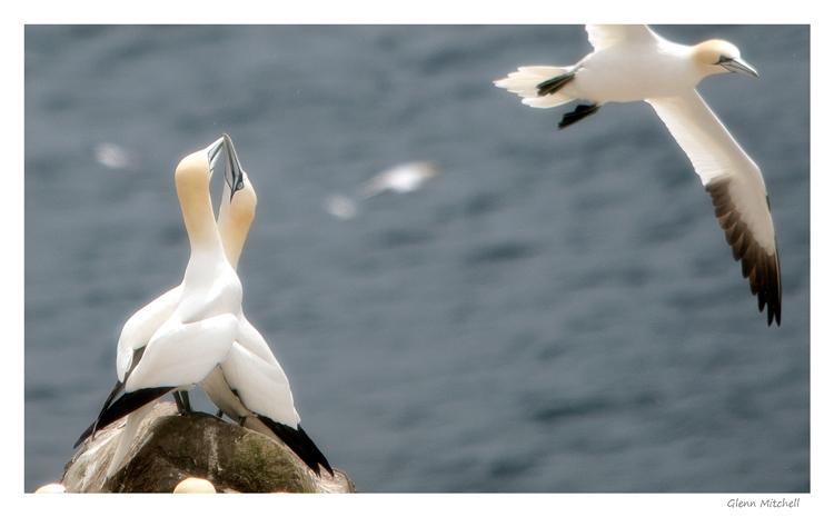 Gannet Mating Ritual