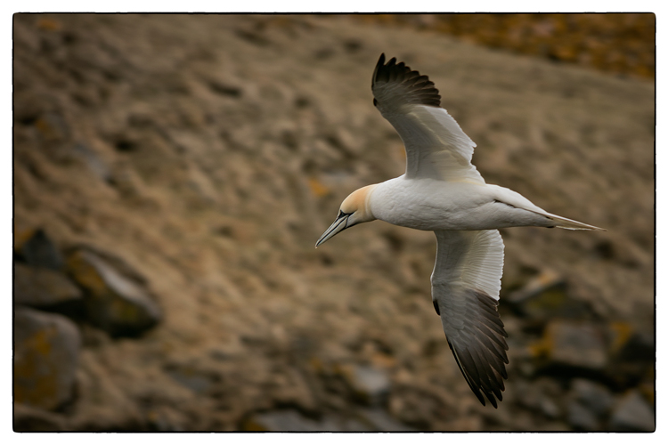 Gannet at Cape St Marys
