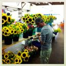 Sunflowers St Malo market