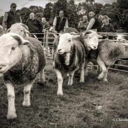 Gilbert Sheep