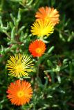 Fuerteventura 5 Flowers