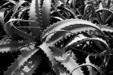 Fuerteventura Cactus BW
