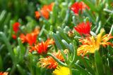 Fuerteventura Flowers