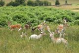 Bradgate Deers