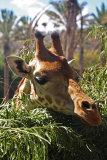 Giraffe (head)