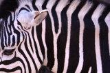 Zebra (detail)