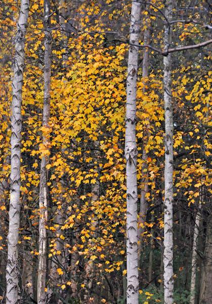 Autumn Sycamore and Birch