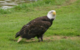 Bald eagle on grass