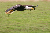 Bald eagle low flying with green grass background