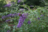 Red Admiral butterfly on rose bay willow herb