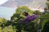 Red admiral on rose bay willow herb, backdrop of Exmoor coastline.