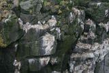 Kittiwakes nestle on Icelandic rockface