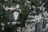 Kittiwakes nesting on Iceland rockface