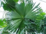 Giant fern at Kew Gardens