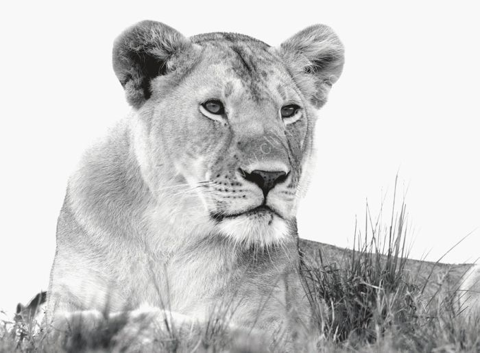Lioness watching over the Mara