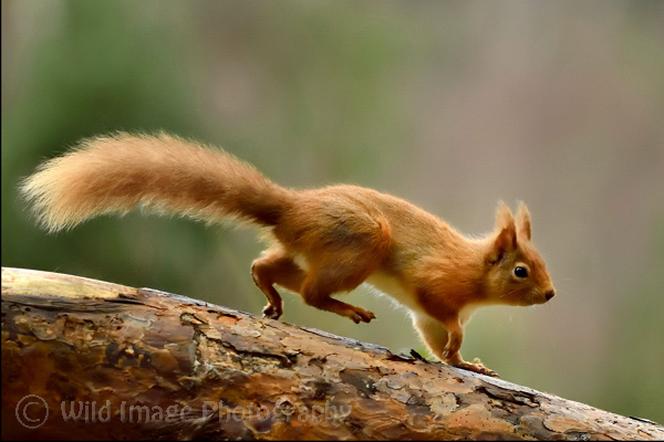 Red Squirrel running on fallen tree