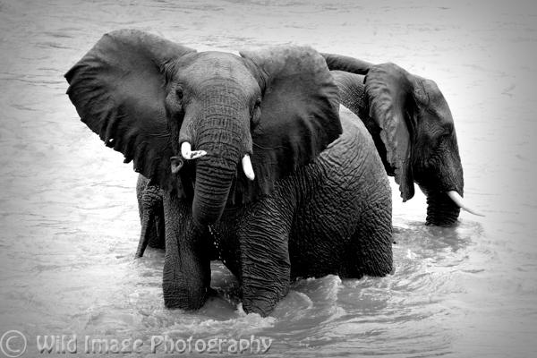 Elephants bathing in the Ewaso Ngiro river,Samburu, Kenya