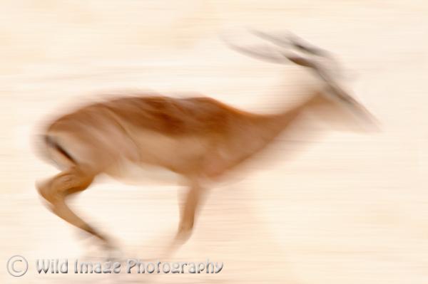 Running Impala Buck.