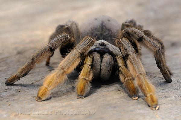 Golden Brown Baboon Spider