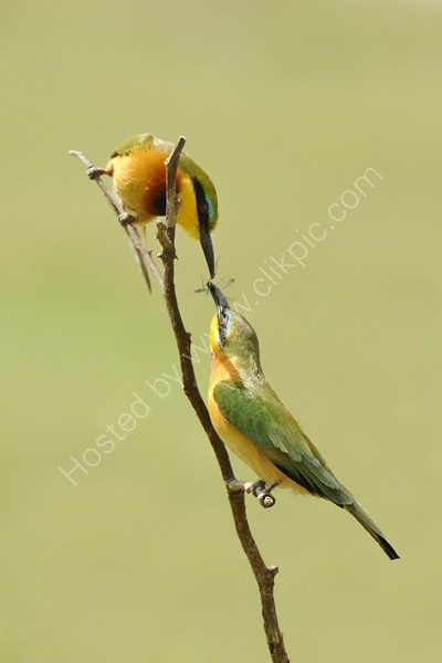 Little Bee-eaters with insect.