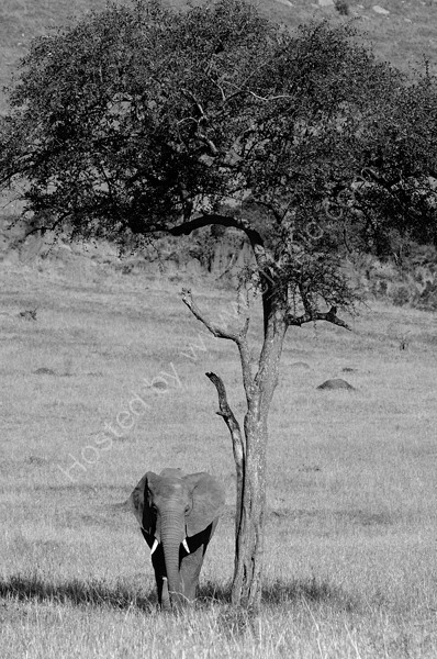 Elephant in the shade.