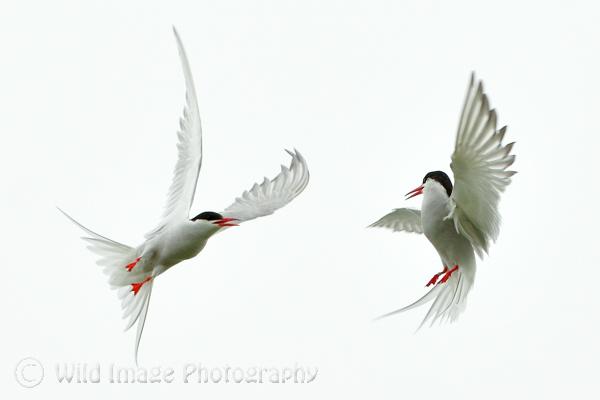 Arctic Terns in aerial combat