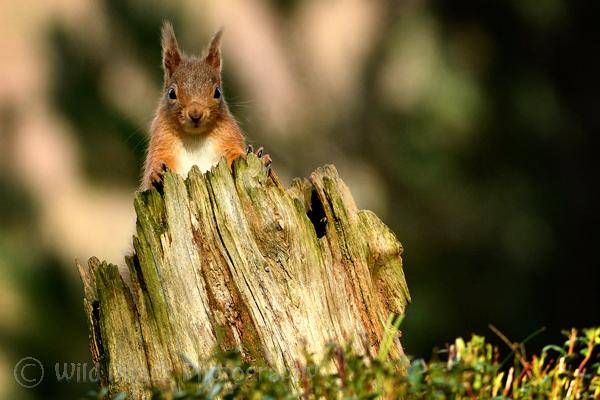 Red Squirrel on stump