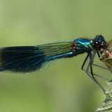 Banded Demoiselle feeding on Moth