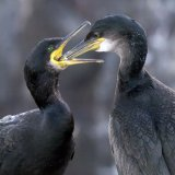 Shag feeding young - Farnes