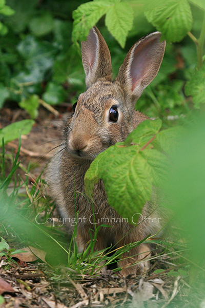 Rabbit in the veg patch