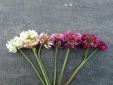 T.repens floral variants