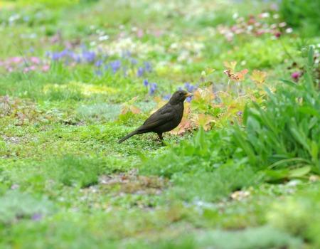 Avondale Blackbird