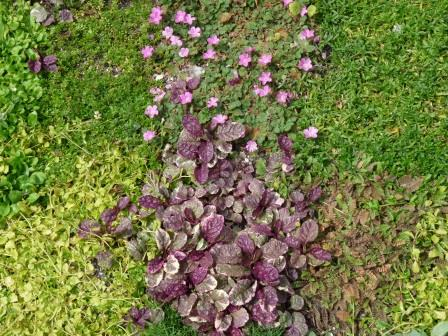 The plants in the Avondale lawn are begining to blend and create a sward
