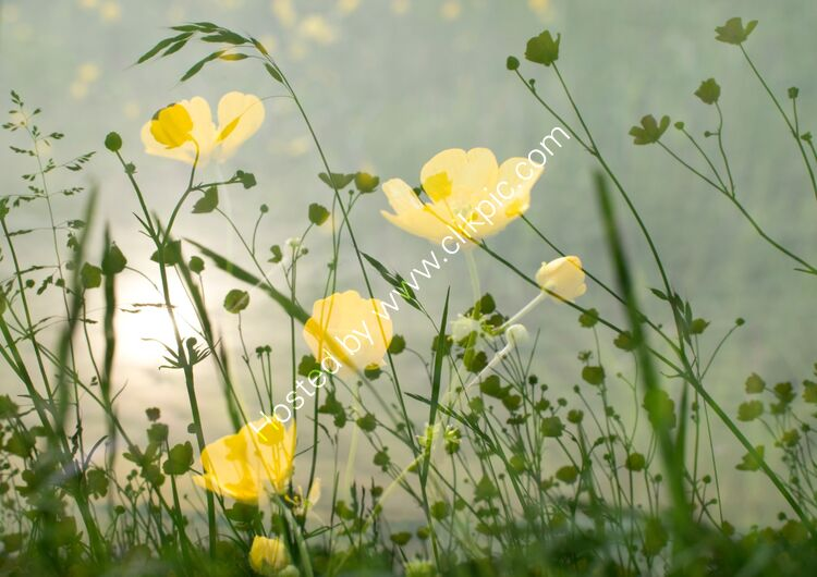 IGPOTY Finalist Bothering Buttercups