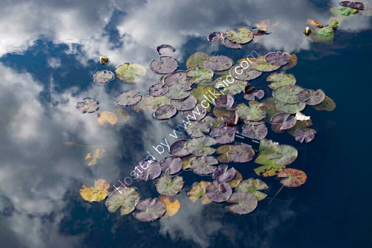 Lily Pond 2 - Botanical Gardens Oxford