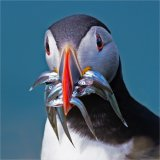 1st Nature - Puffin with sandeels Adrian Langdon