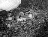 2nd Mono PDI - The Swans Nest Sally Lloyd-Jones