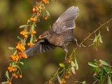 Blackbird on Pyracantha (W) Adrian Langdon