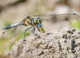 Blacktailed Skimmer With Prey Paul McCullagh