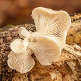 Branched Oyster Mushroom Jenni Cheesman