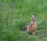 Brown Hare (W) Adrian Langdon