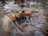 Frog in winter flood Adrian Langdon